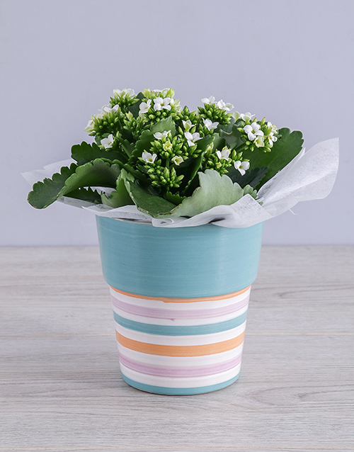 friendship: White Kalanchoe Plant in Striped Ceramic Pot!