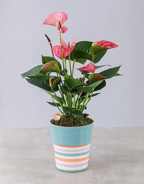 colour: Pink Anthurium in Striped Pot!