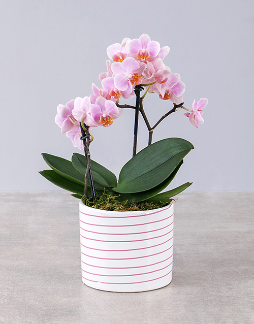colour: Midi Pink Orchid in Pink and White Striped Vase!
