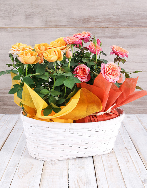 birthday: Double Mixed Rose Bush Delight!