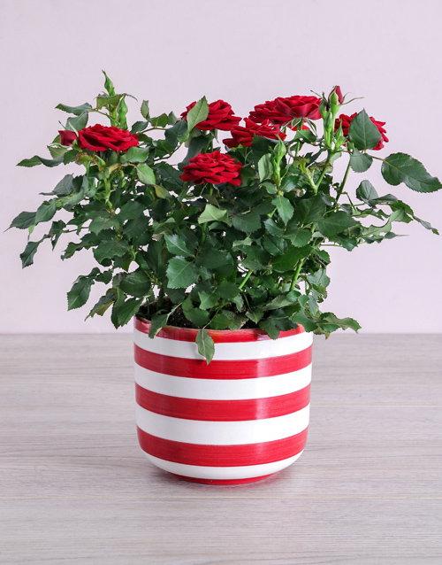 friendship: Red Rose Bush in Striped Pot!