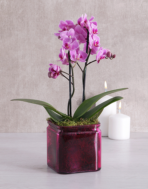 anniversary: Mini Phalaenopsis Orchid in a Pink Vase!