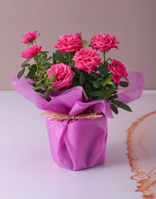 colour: Cerise Rose Bush in Wrapping!