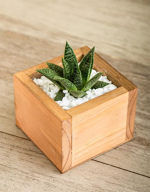 celebrity-range: Dainty Succulent Plant!