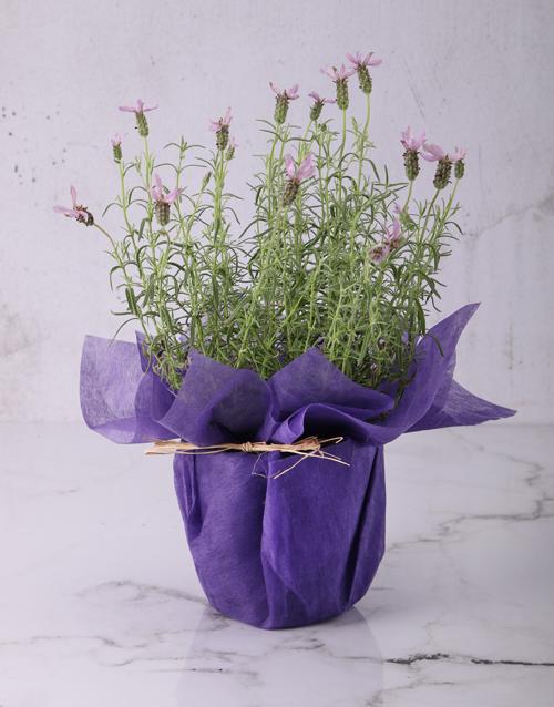 colour: Lovely Lavender Plants!