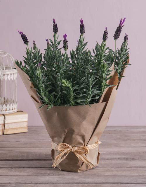prices: Lush Lavender Plant!