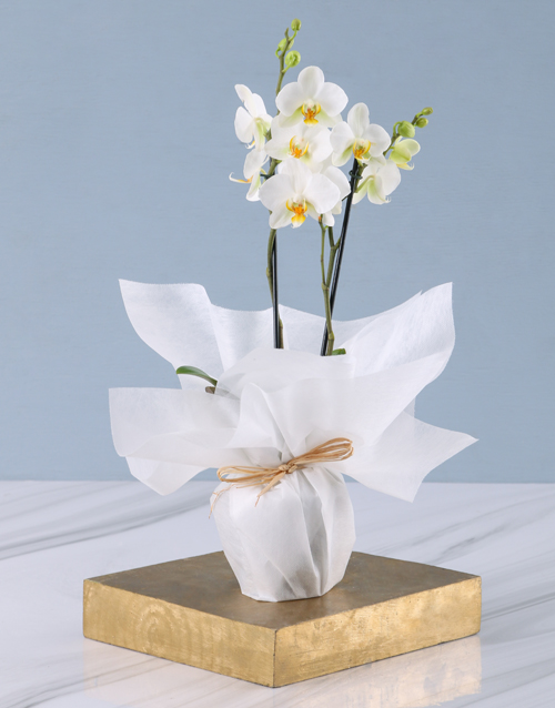 christmas: Tranquil Mini Phalaenopsis Orchid!