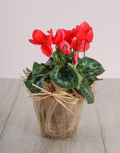 prices: Red Cyclamen in Hessian!