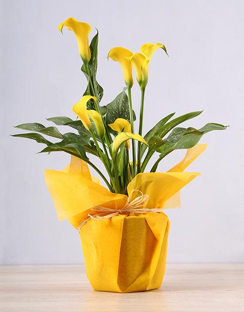 colour: Yellow Zantedeschia Plant!