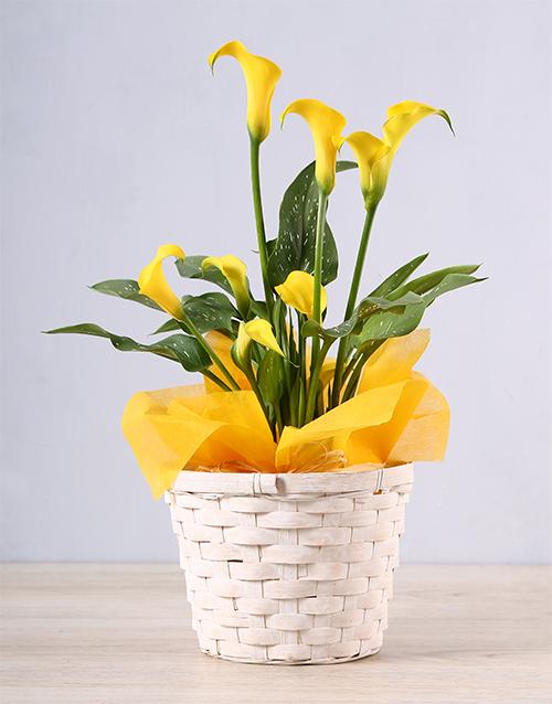 colour: Yellow Zantedeschia Basket!