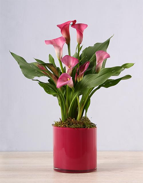 colour: Pink Zantedeschia in Pink Vase!