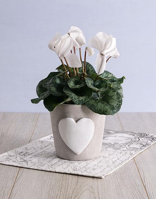 anniversary: White Cyclamen in Heart Ceramic Pot!