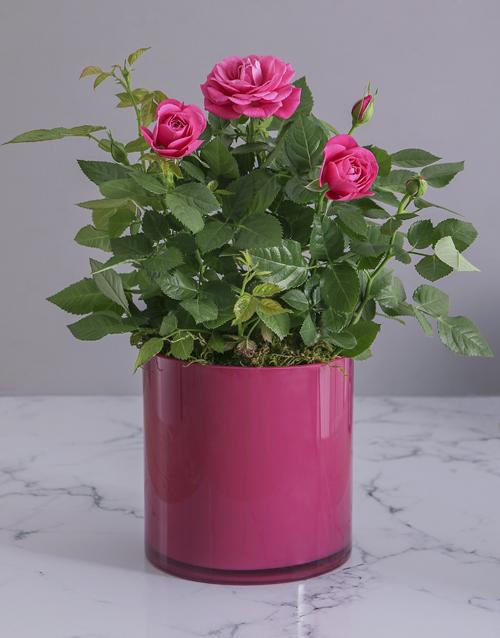 colour: Cerise Rose Bush in Cylinder Glass Planter!