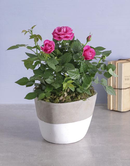 basket: Cerise Rose Bush In Cement Feel Pot!