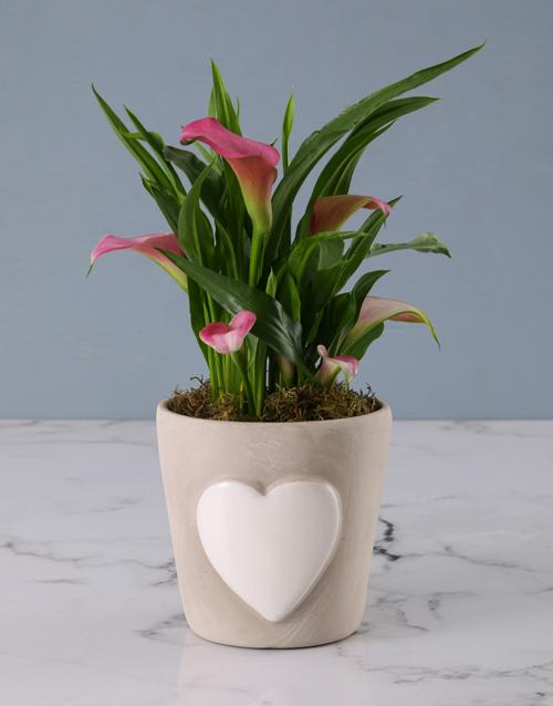 friendship: Zantedeschia in Embossed Heart Cement Pot!