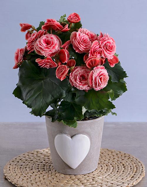 begonia: Pink Begonia in Heart Ceramic!