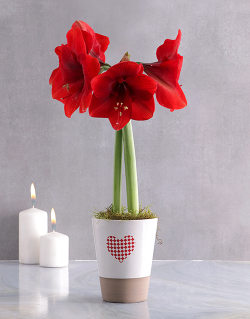 colour: Red Amaryllis in Heart Pot!