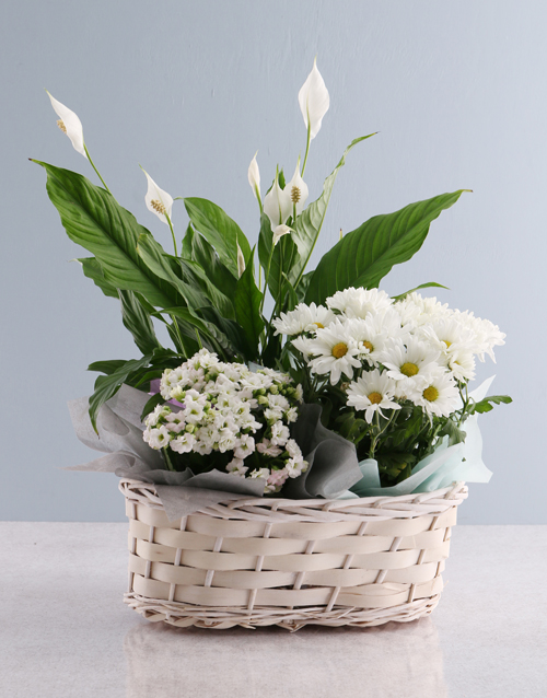 friendship: Vibrant Chrysanthemum Blooms!