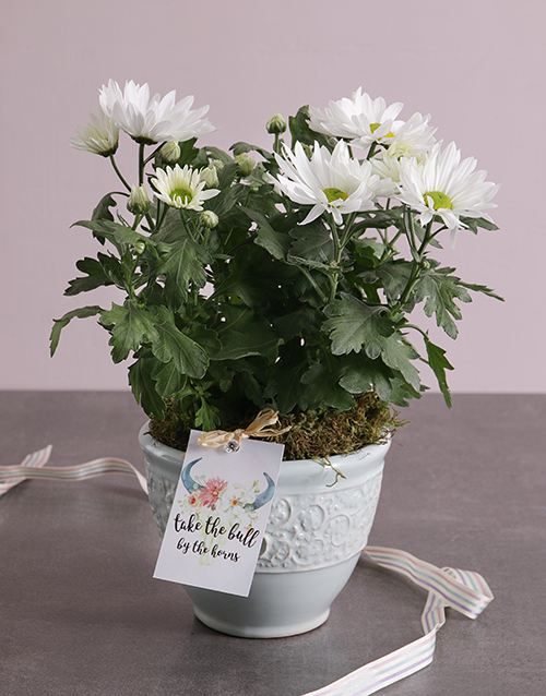 colour: Daisy Plant in Vintage Ceramic!