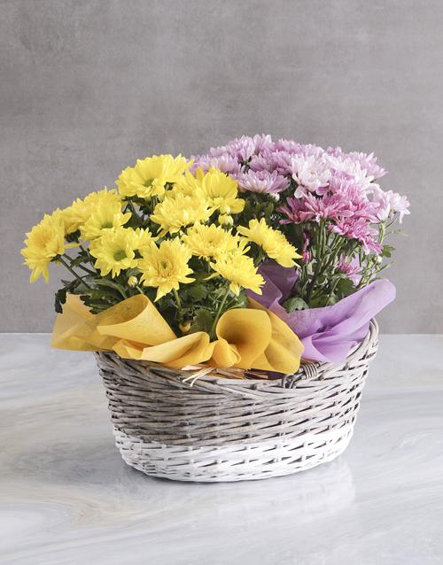 colour: Lovely Chrysanthemum Blooms!