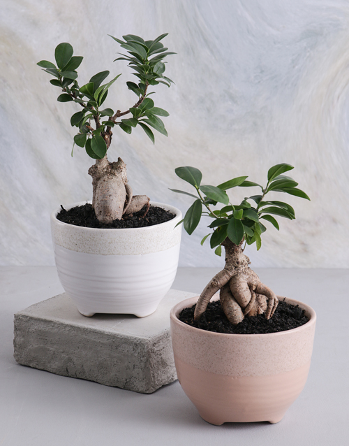 new-years: Ficus Bonsai in a Smooth Ceramic Pot!