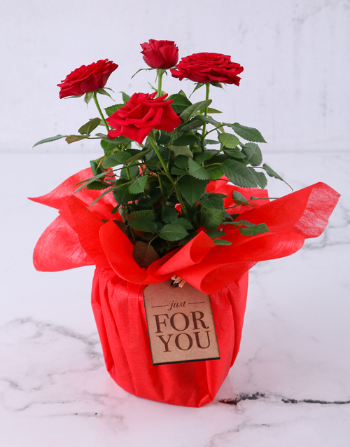colour: Red Rose Bush Just For You!