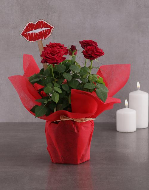 colour: Red Rose Bush Kisses!