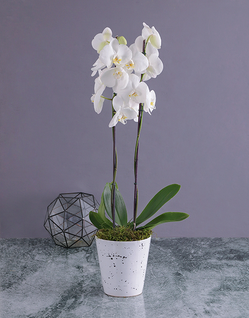 plants: Modern Phalaenopsis Orchid in Splash Pot!