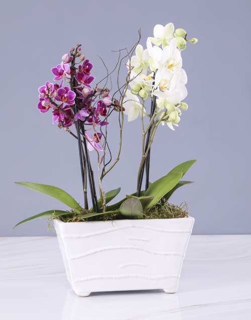 anniversary: Pink And White Orchids In A Ceramic Tub!