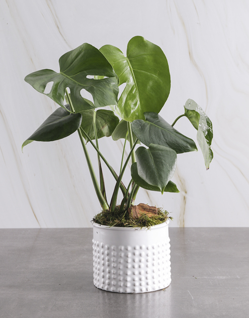 anniversary: Monster Leaf in Textured White Pot!