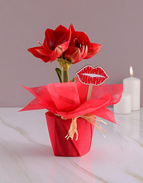 colour: Smooches Amaryllis!