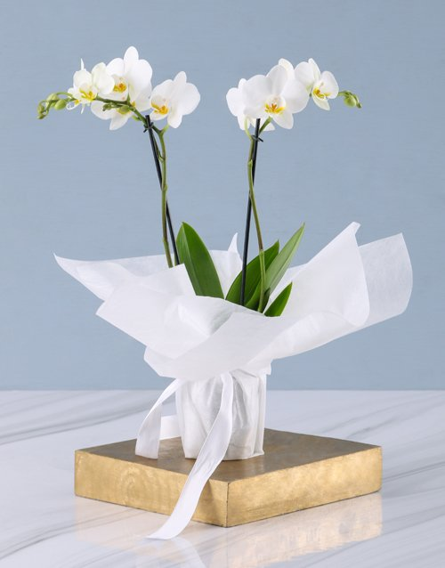 best-sellers: White Midi Sympathy Orchid!