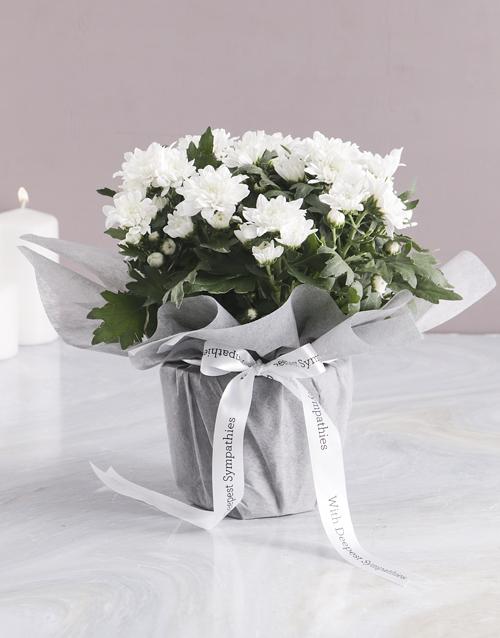 colour: Angelic Chrysanthemum Blossoms!