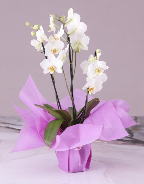 love-and-romance: Serene White Midi Orchid!