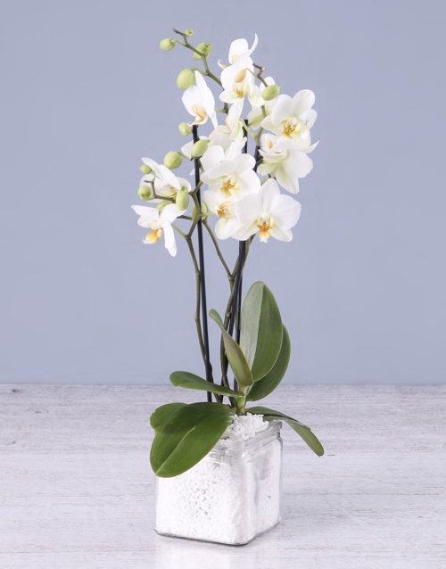 birthday: Soothing Midi Orchid!