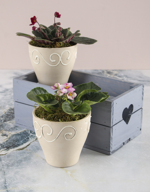 birthday: African Violets In Heart Crate!