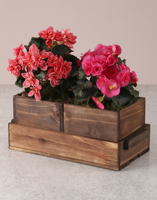 begonia: Beautiful Begonias In Wooden Boxes!