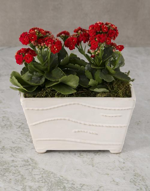 colour: Kalanchoe In Ceramic Planter!