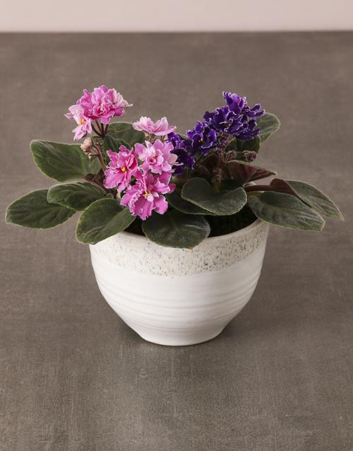 african-violets: African Violets In White Ceramic Pot!