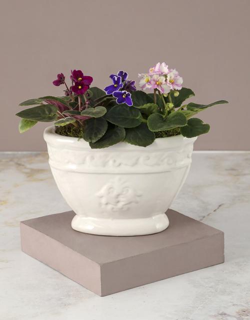 african-violets: African Violets In Chic Ceramic Pot!