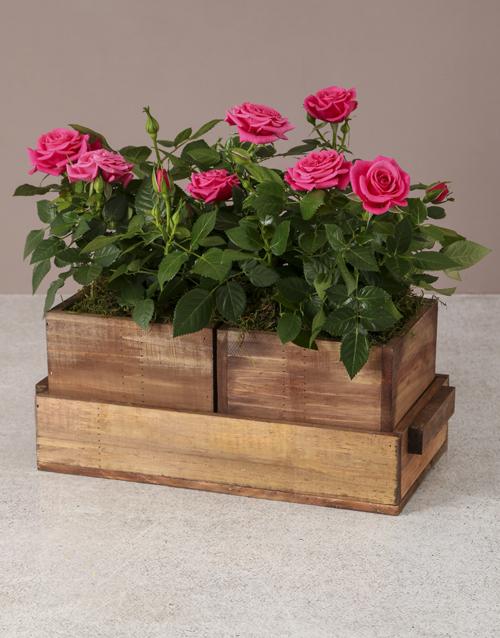 wooden-crates: Gardeners Dream Rose Bush!