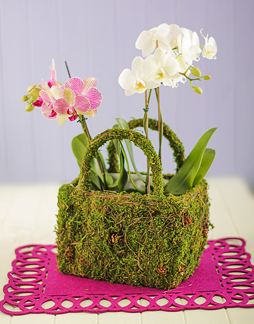apology: Double Mini Orchids in a Moss Basket!