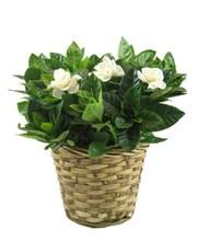 Picture of Gardenia!
