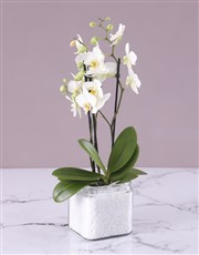 Picture of Mini White Orchid in Stone Filled Vase!