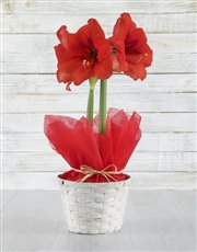 Picture of Red Amaryllis in White Basket!