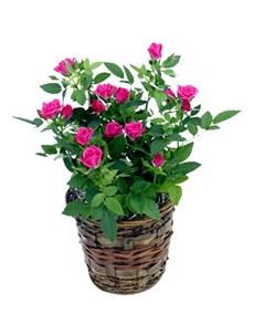 flowers: Mini Rose Bush!