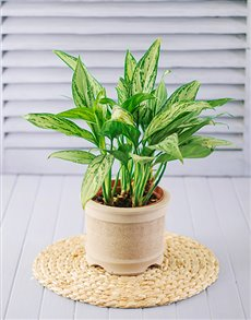plants: Single Plant in Pot!