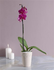 flowers: Phalaenopsis Orchid in Cream Pottery!