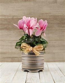gifts: Cyclamen in a Pot!