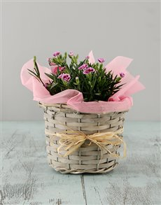 flowers: Dianthus in a Basket!